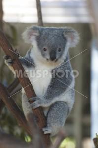 Koala - MeusPhoto