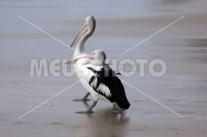 Pelicans on the beach looking at waves - MeusPhoto