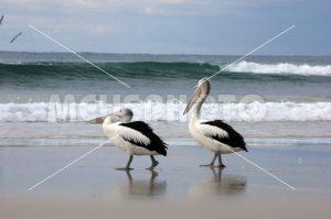 Pelicans walking on the beach - MeusPhoto