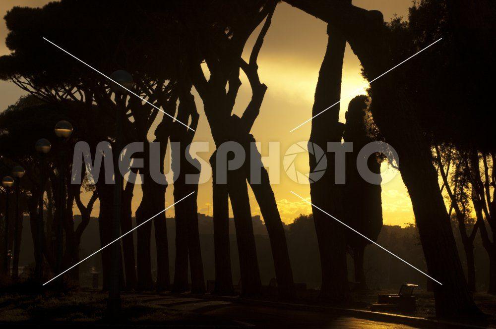 Pine trees at sunset - MeusPhoto