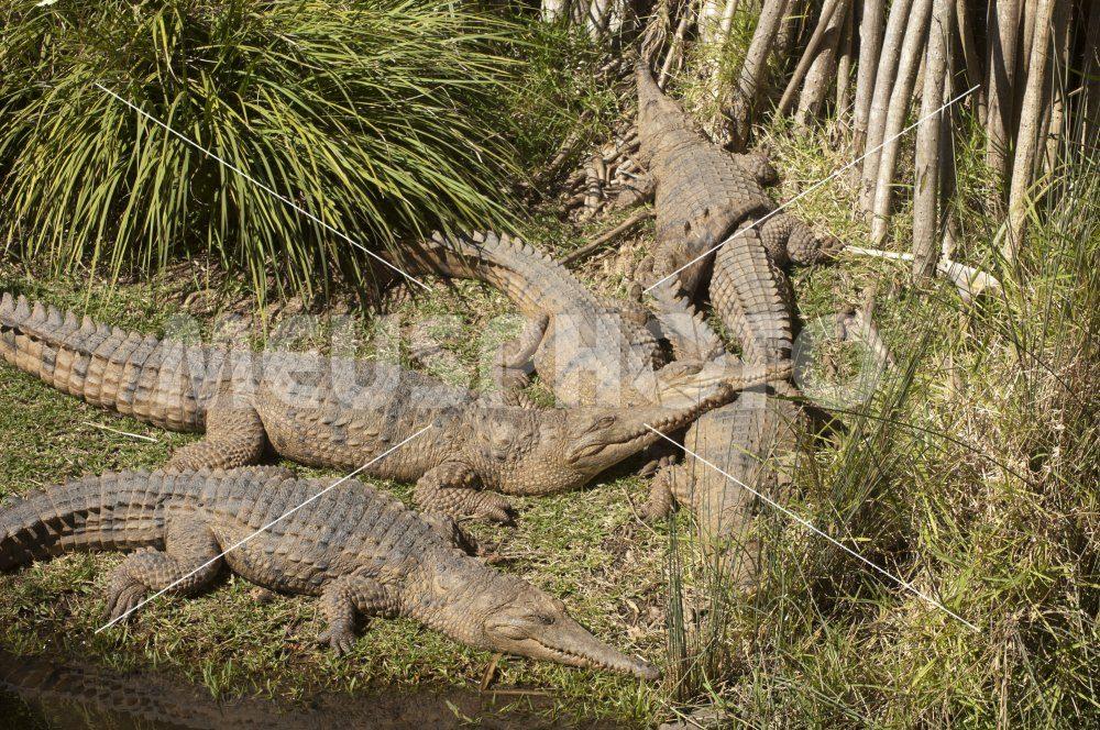 Alligators sleeping at the sun - MeusPhoto