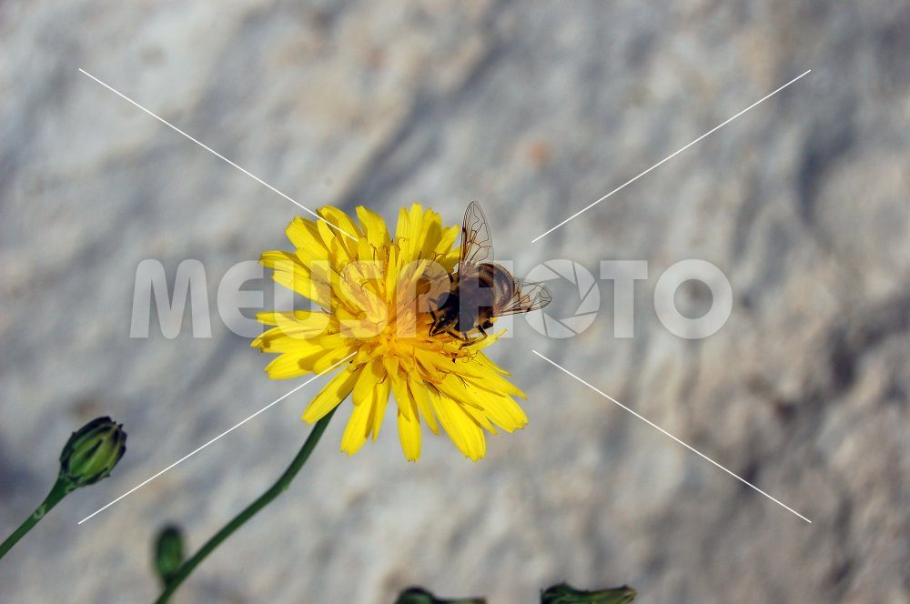 Bee on yellow flower - MeusPhoto