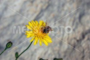 Bee on yellow flower - MeusPhoto