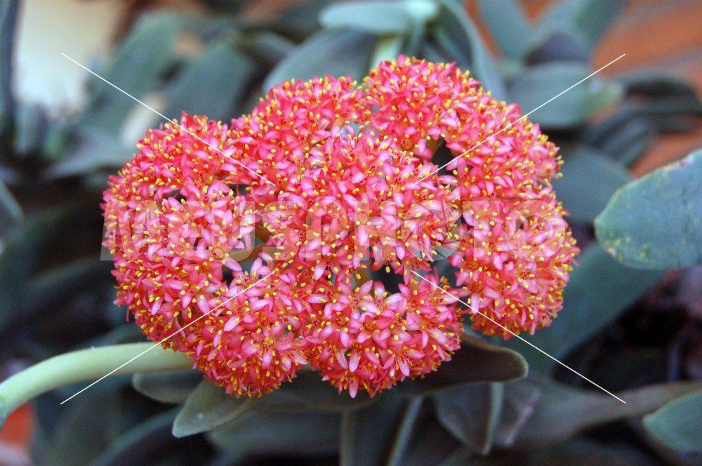 Flowers of Crassula Perfoliata - MeusPhoto