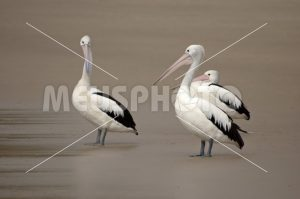 Group of pelicans on the beach watching - MeusPhoto