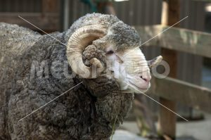 Mutton in the farm looking - MeusPhoto