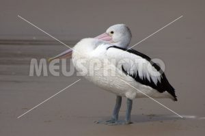 Pelican crouched on the beach - MeusPhoto