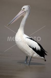 Pelican standing on the beach - MeusPhoto