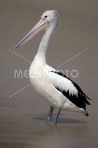 Pelican standing on the beach - MeusPhoto