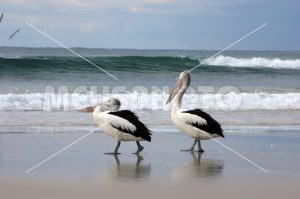 Pelicans walking on the beach - MeusPhoto