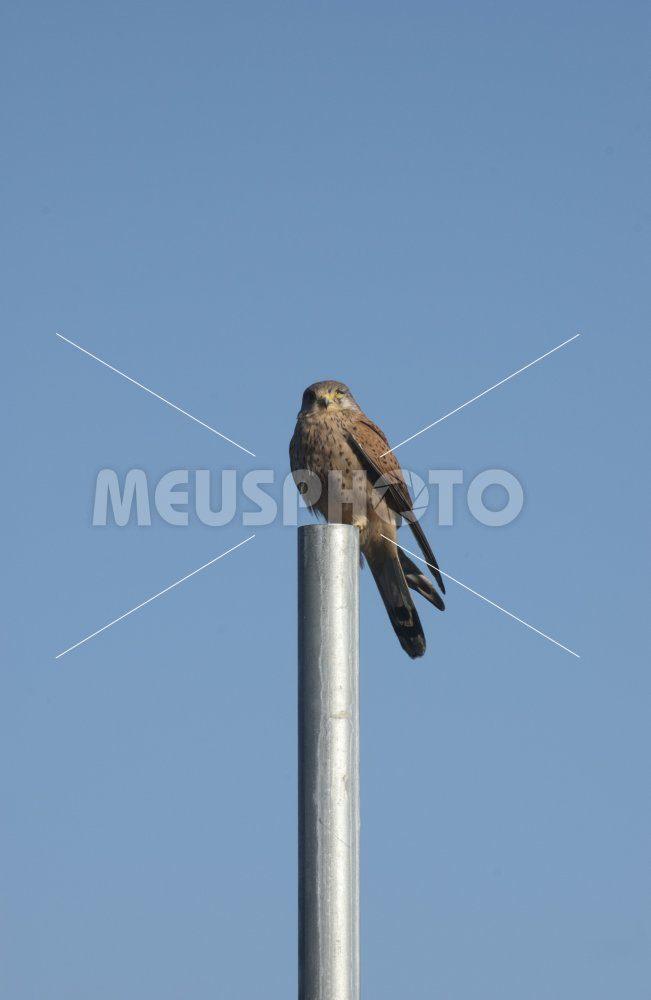 Swamp hawk on pole - MeusPhoto